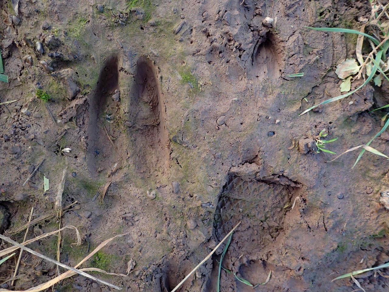 Deer prints in the mud - © Rosemary Winnall