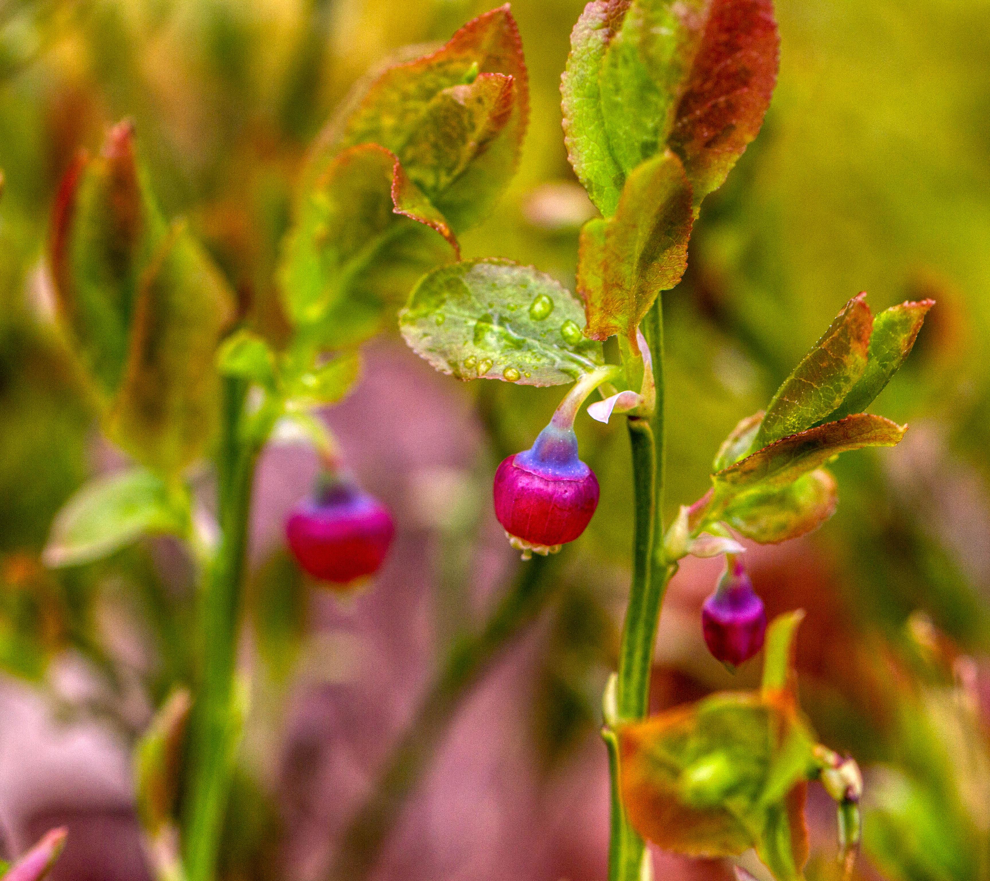 Bilberries overlooked by grazing animals