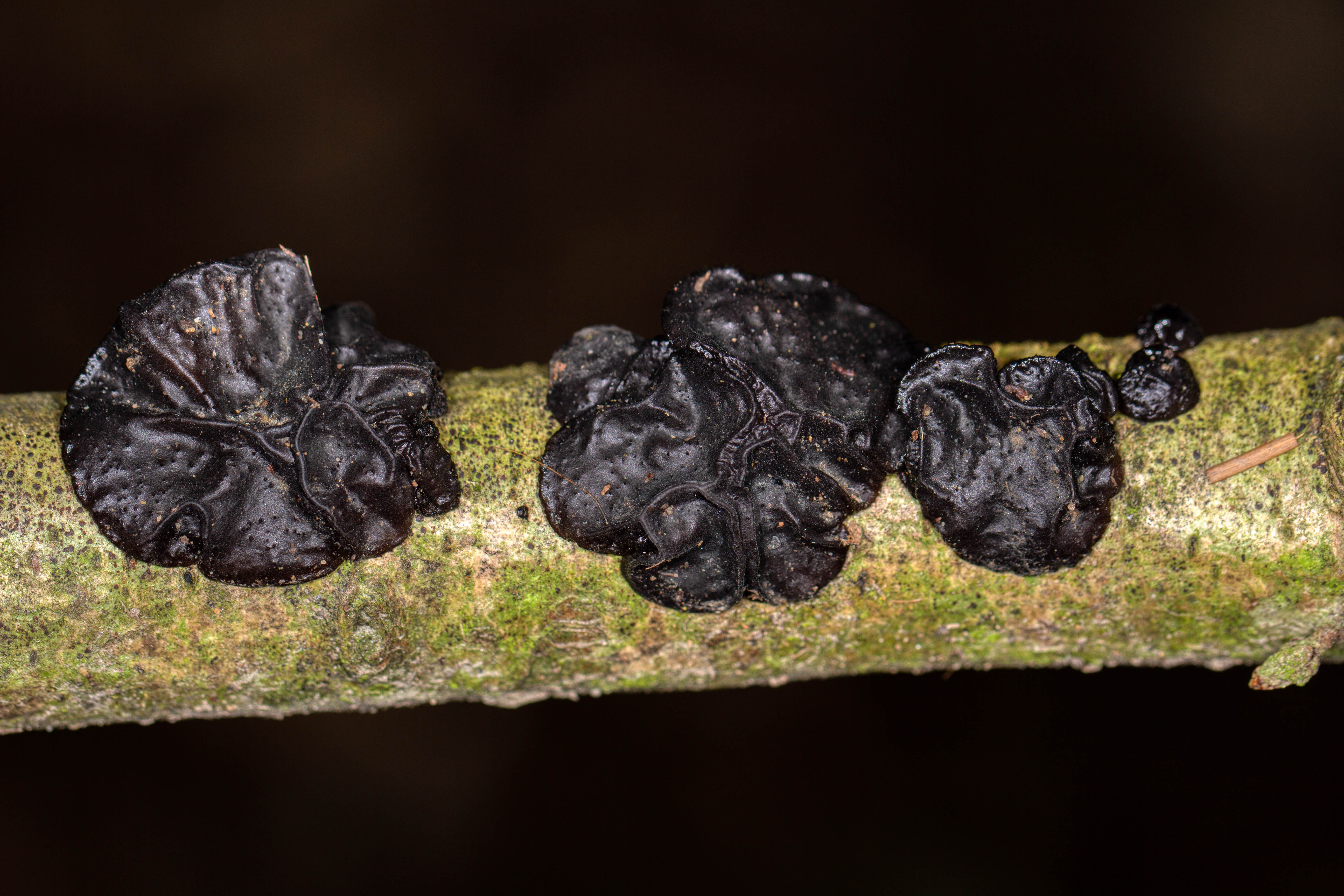 Possible Black Witches Butter - Exidia plana