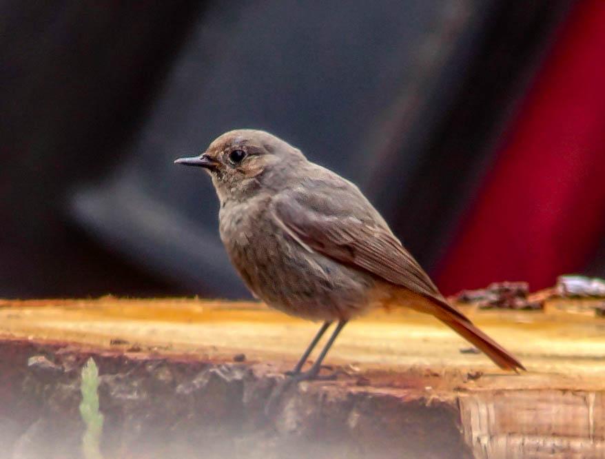 Black Redstart ♂ - Craig Reed