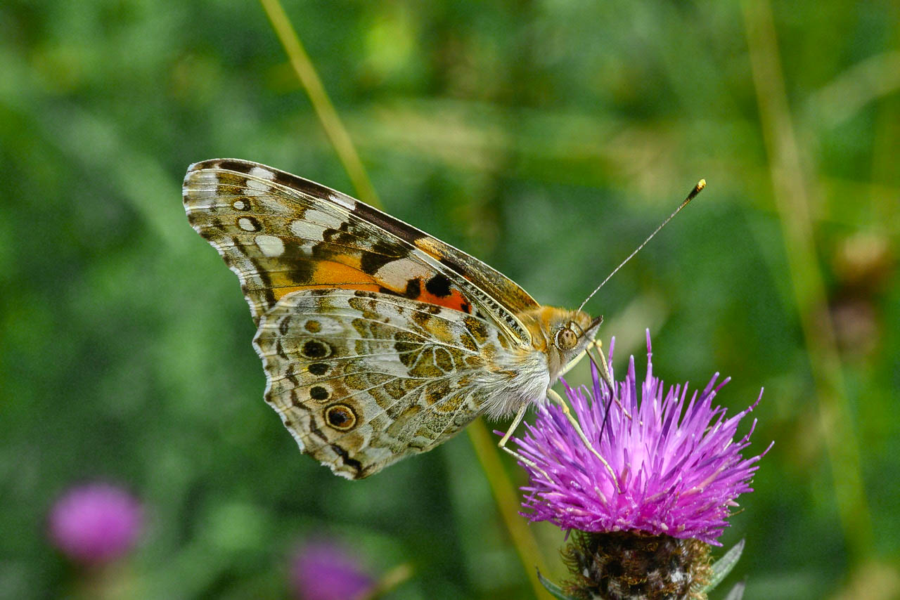Painted Lady - Roger Plant