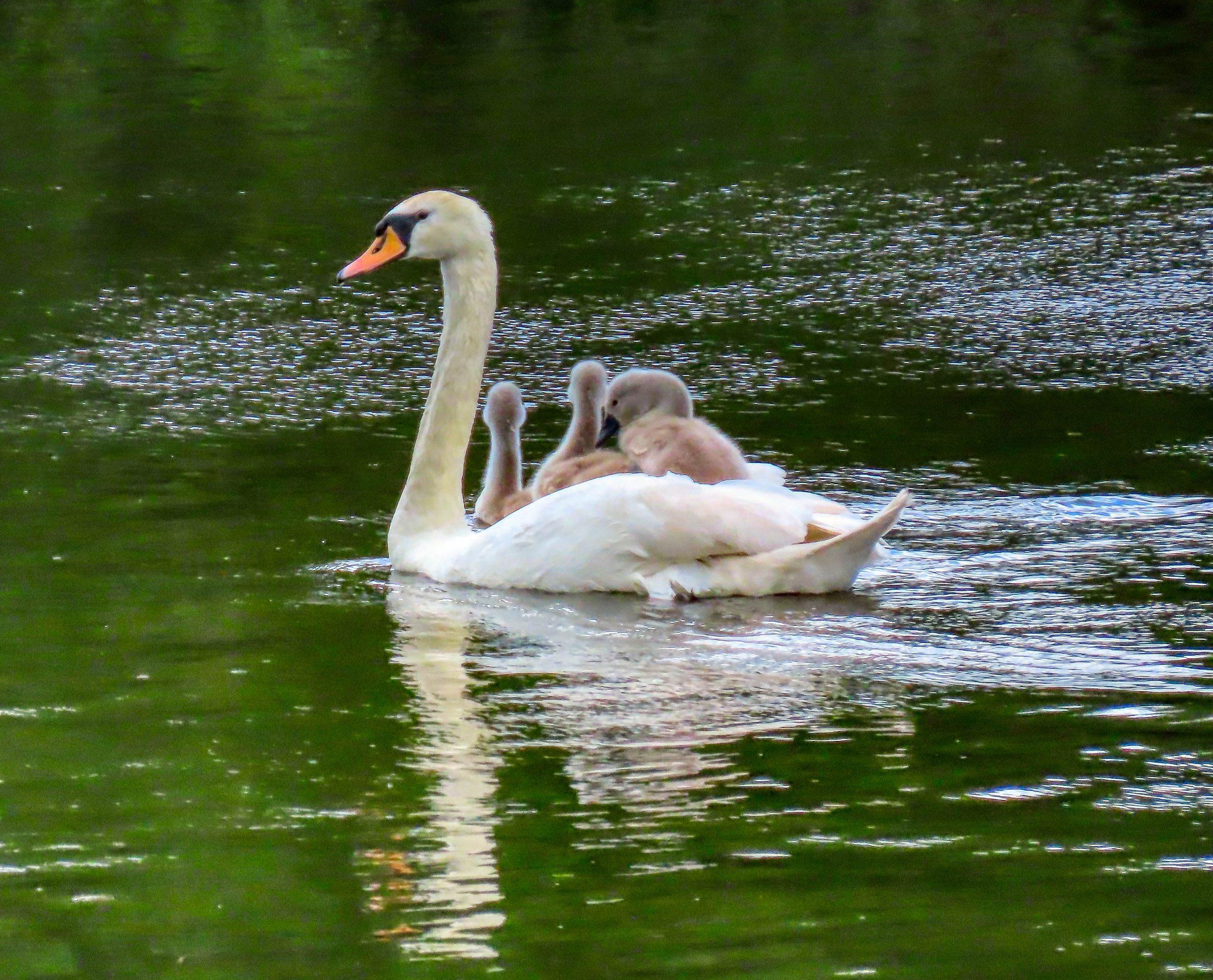 Mute Swan with cygnets aboard - Rosemary Winnall