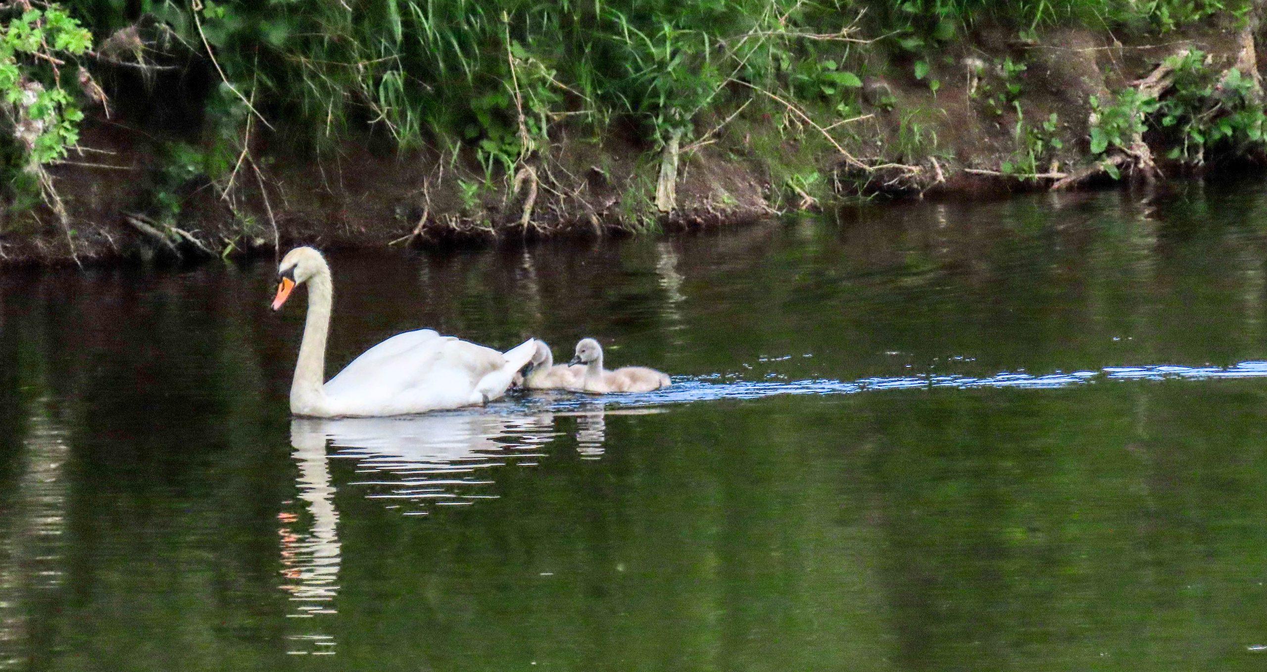 Mute Swan - Rosemary Winnall