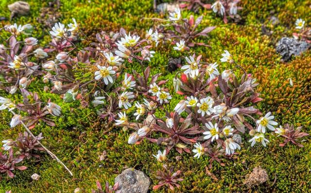 Common Whitlowgrass - Rosemary Winnall