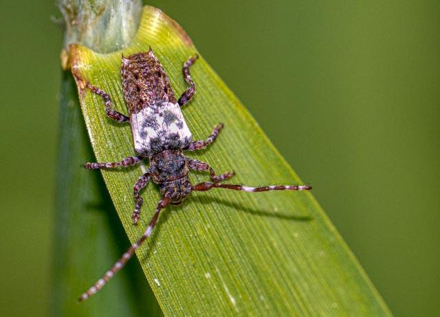 Greater Thorn-tipped Longhorn Beetle - Steve Horton