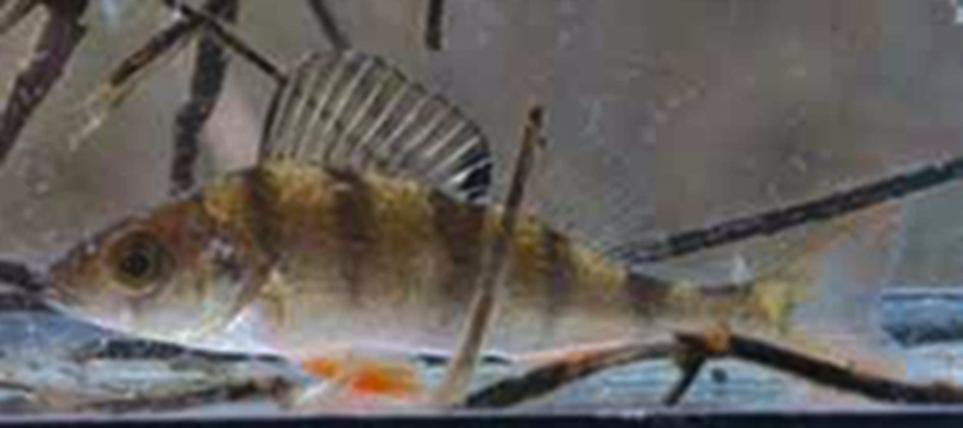 Perch - Perca fluviatilis