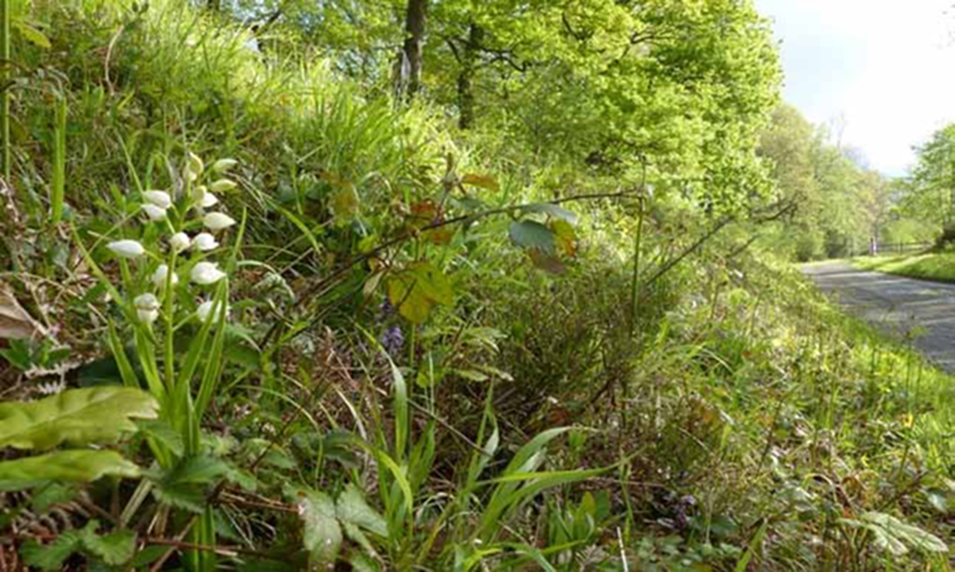Narrow-leaved Helleborine - Cephalanthera longifolia