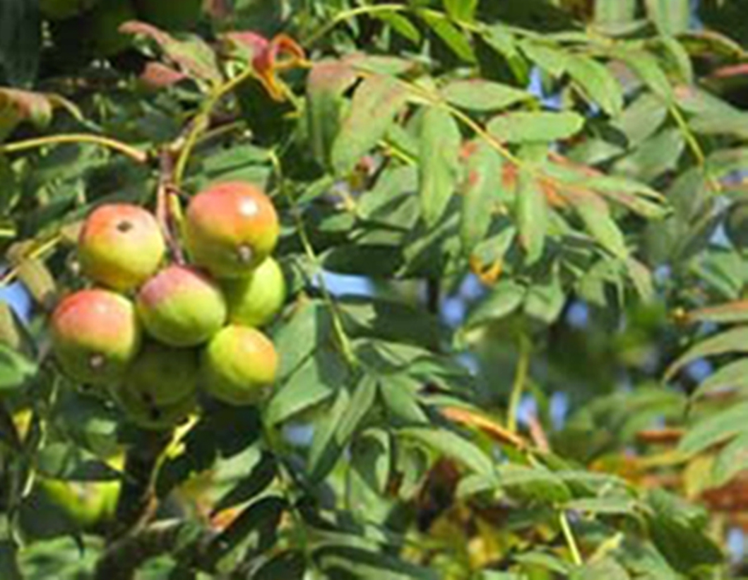 True Service  - Sorbus domestica - leaf and fruit
