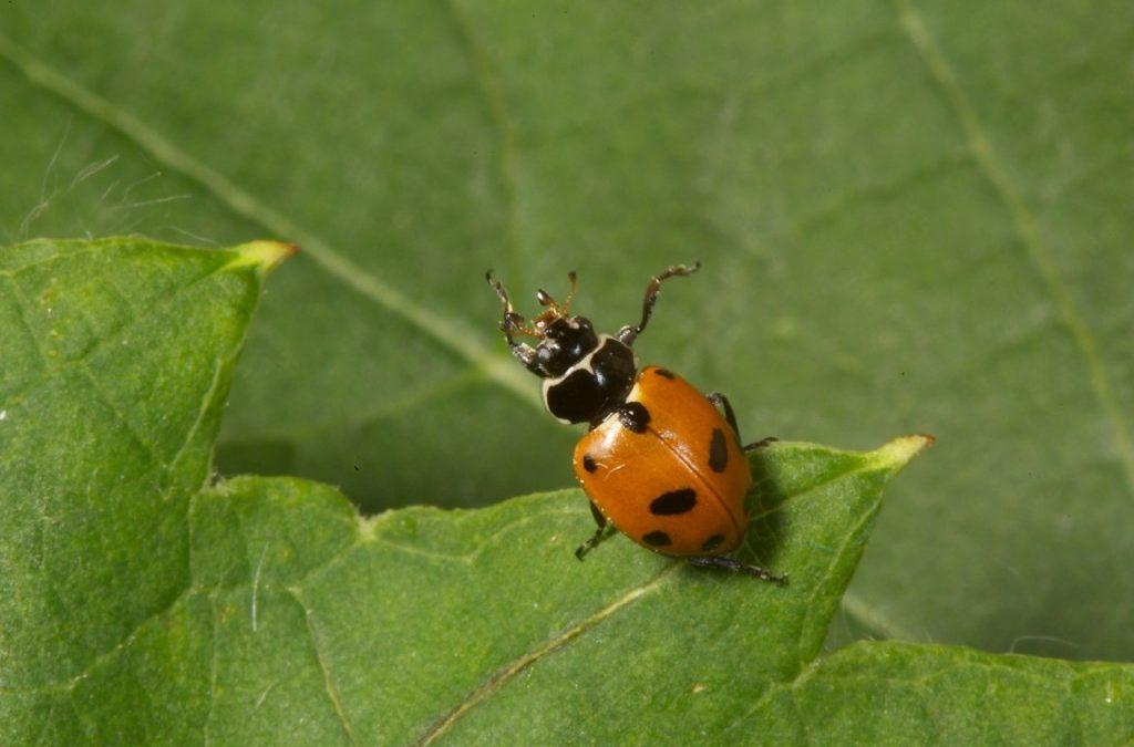 Adonis Ladybird (Hippodamia variegata)