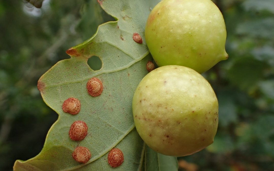Spangle galls and Cherry galls