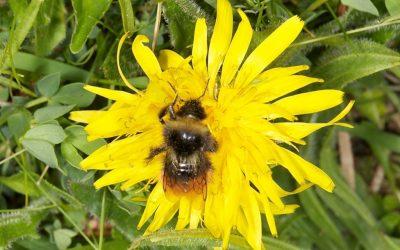 Bilberry Bumblebee Bombus monticola