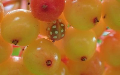 Orange Ladybird (Halyzia sedecimguttata)