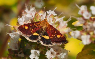 Pyrausta moths
