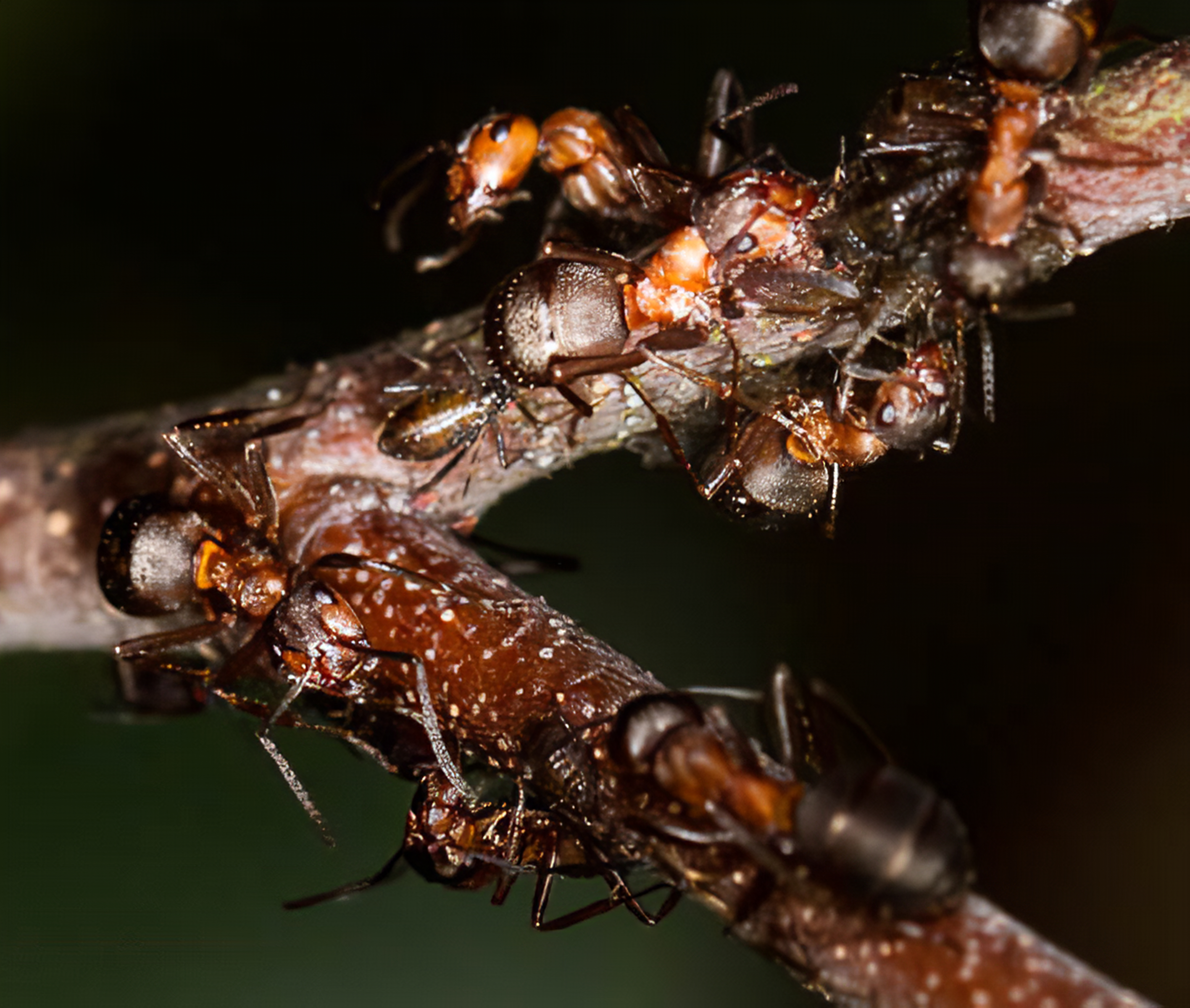 Southern Wood Ants tending aphids