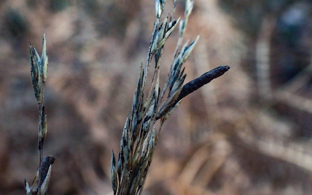 Ergot in Purple Moor Grass