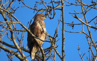 Buzzard in ash tree