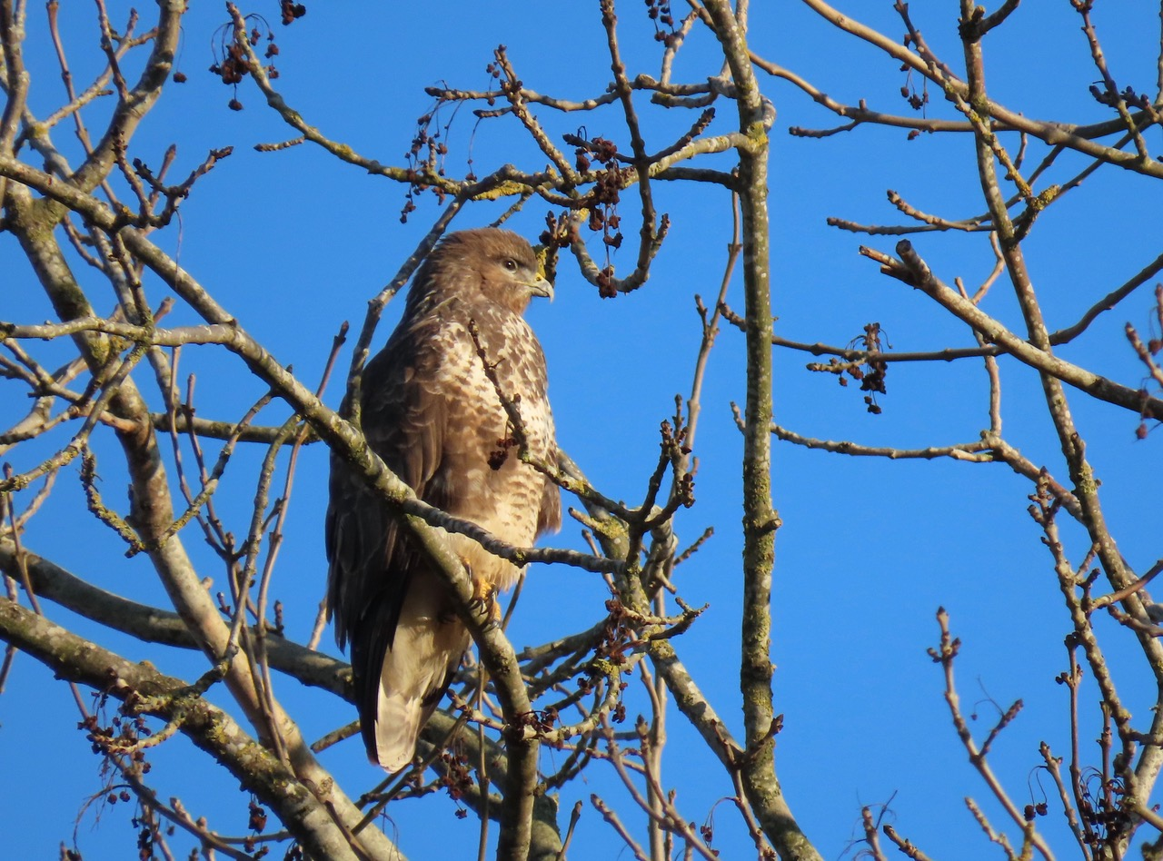 Buzzard in ash tree © Rosemary Winnall