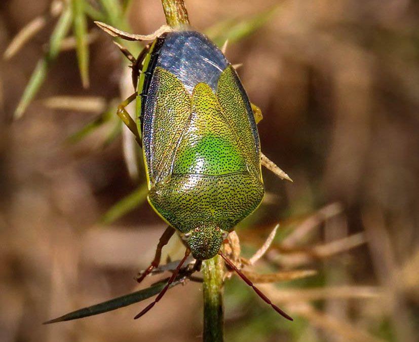 Gorse Shieldbugs – Piezodorus lituratus
