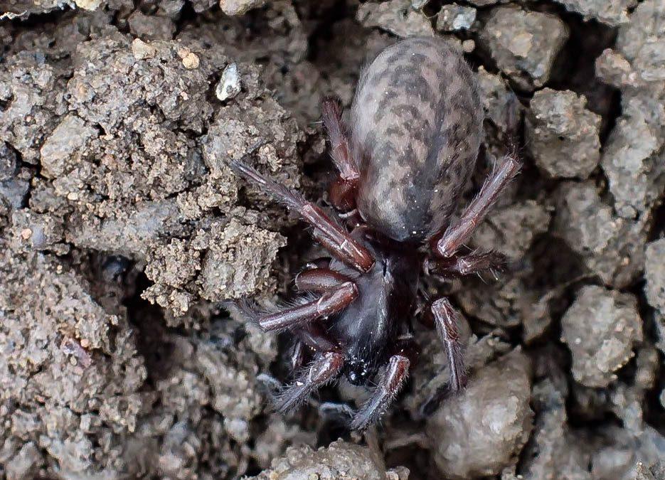 Laceweb Spider
