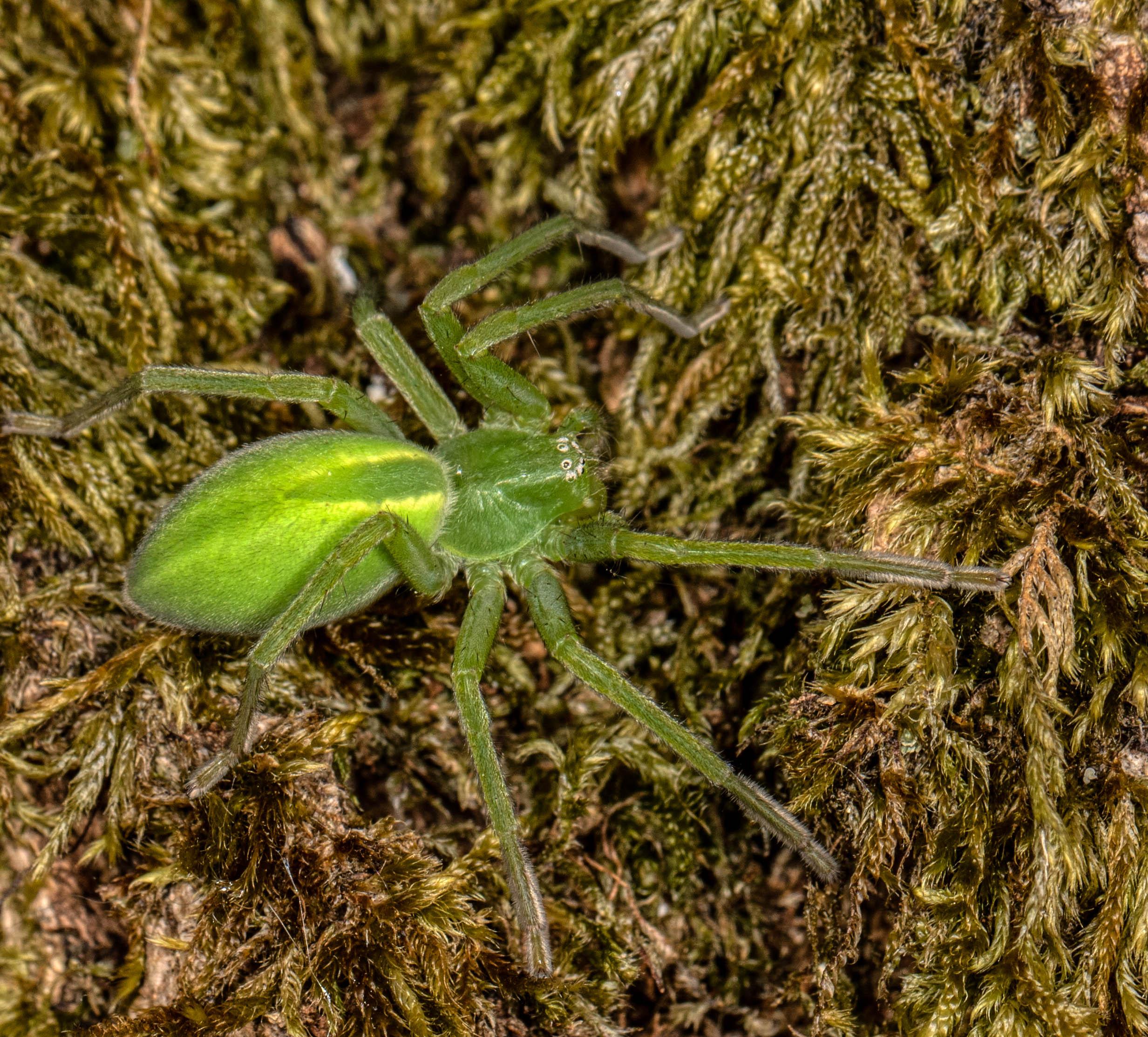 Green Huntsman  - Micrommata virescens (female)