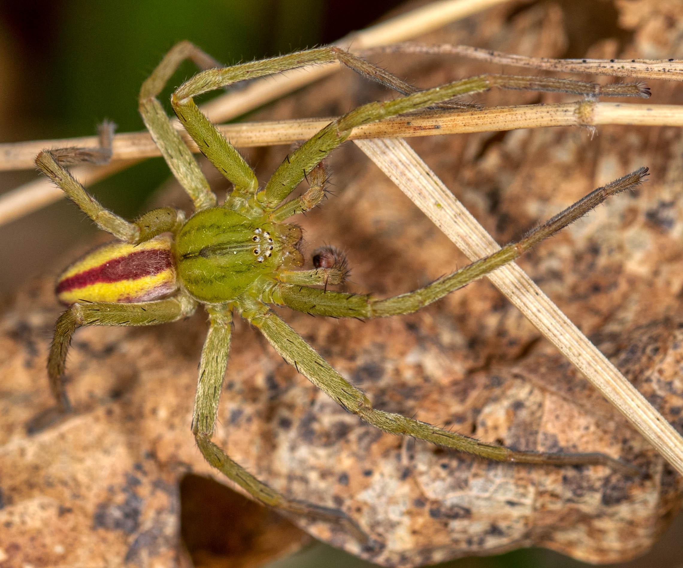 Green Huntsman - Micrommata virescens (male)