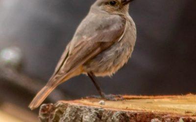 News just in … Black Redstart sightings!