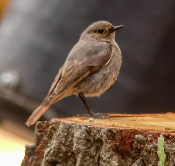 Black Redstart ♂ - Craig Reed
