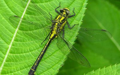 Clubtail Dragonfly