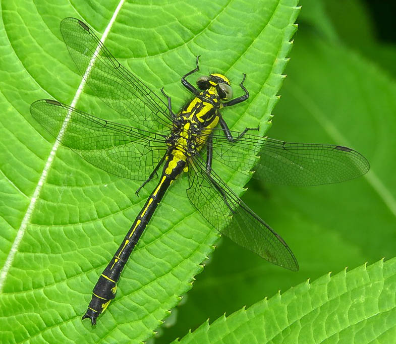 Clubtail Dragonfly ♂ - Mike Averill