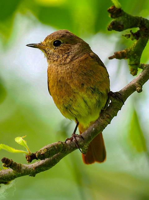 Redstart ♀ - Mick Farmer