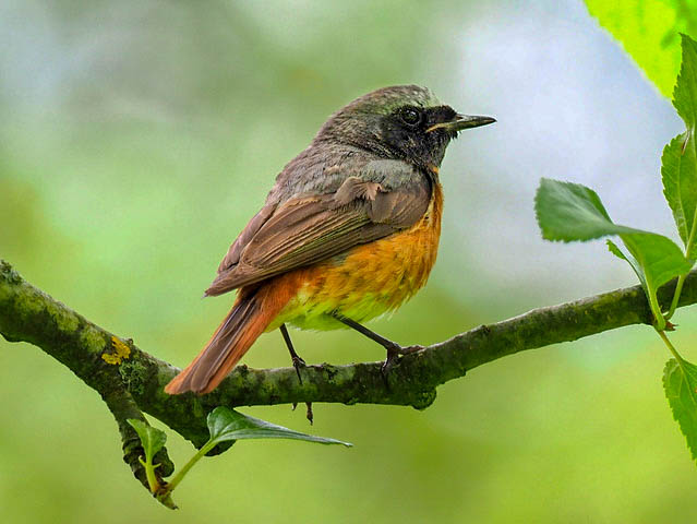 Redstart – a welcome summer visitor