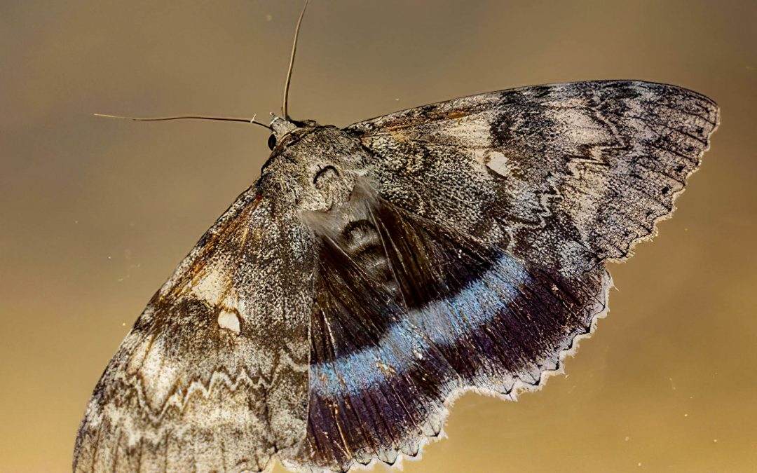 Clifden Nonpareil – back from the brink?