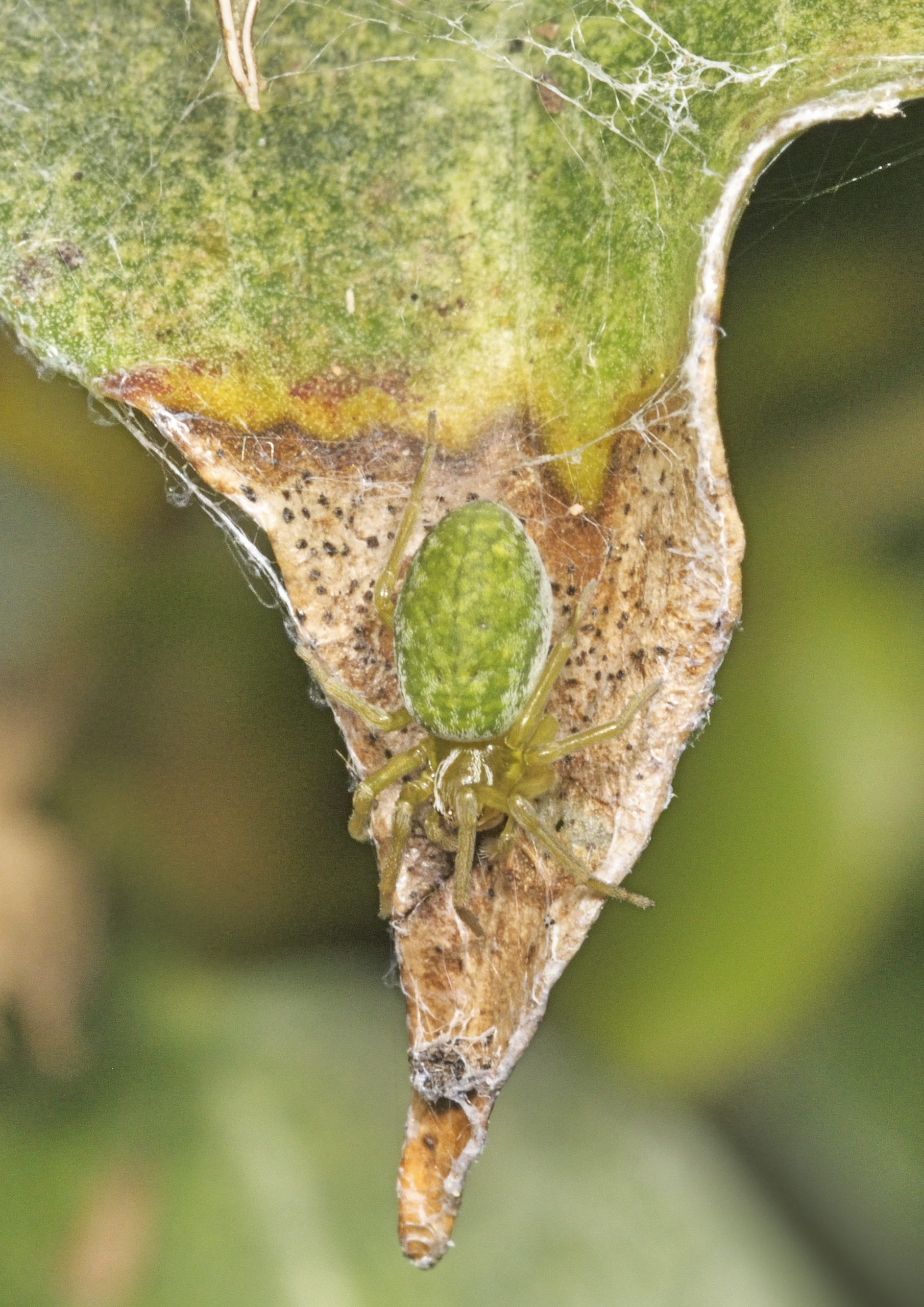 Nigma walckenaeri female - Roger Plant