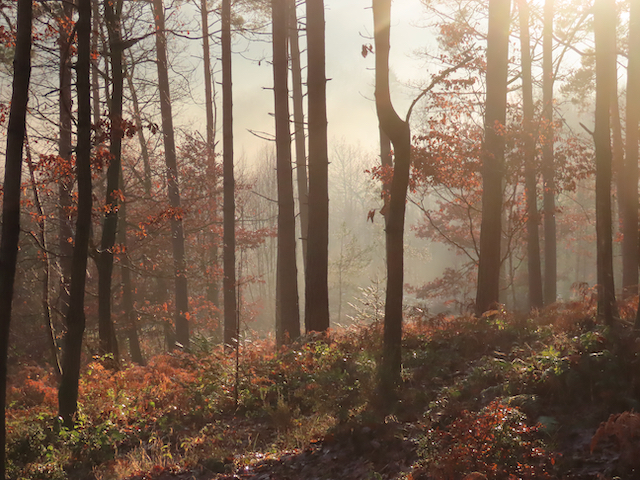 Misty day in Withybed Wood, photo by Rosemary Winnall