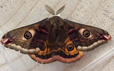 Emperor Moth – Saturnia pavania