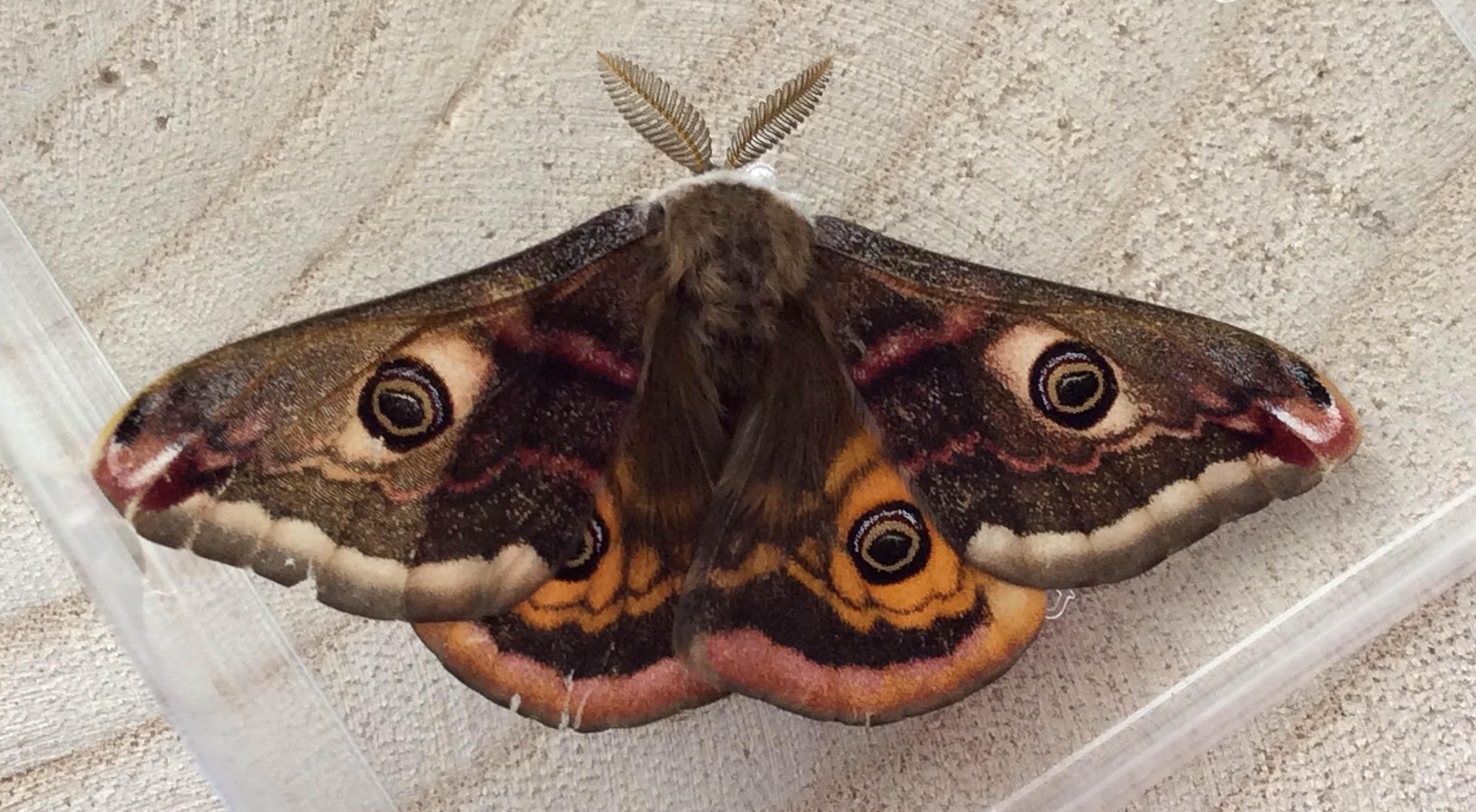 Emperor Moth - Saturnia pavonia ♂   - Mary Singleton