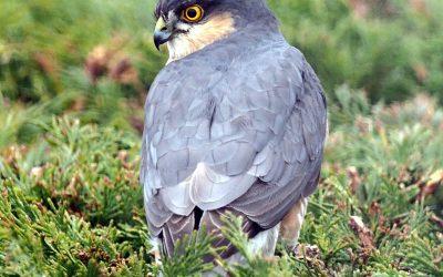 Sparrowhawk alert!