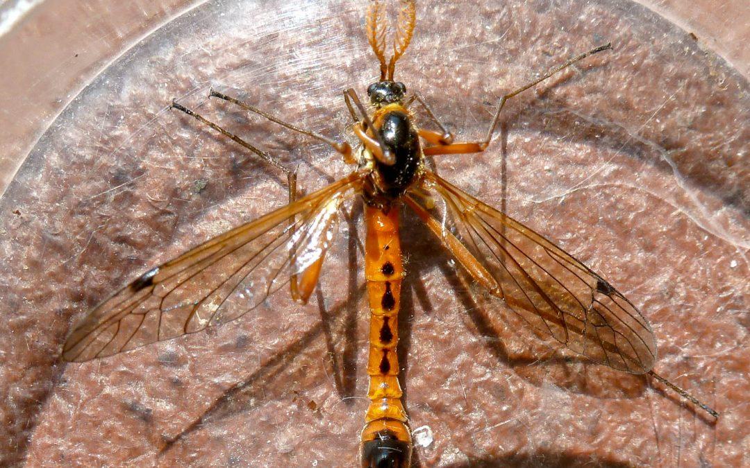Cranefly – Tanyptera atrata