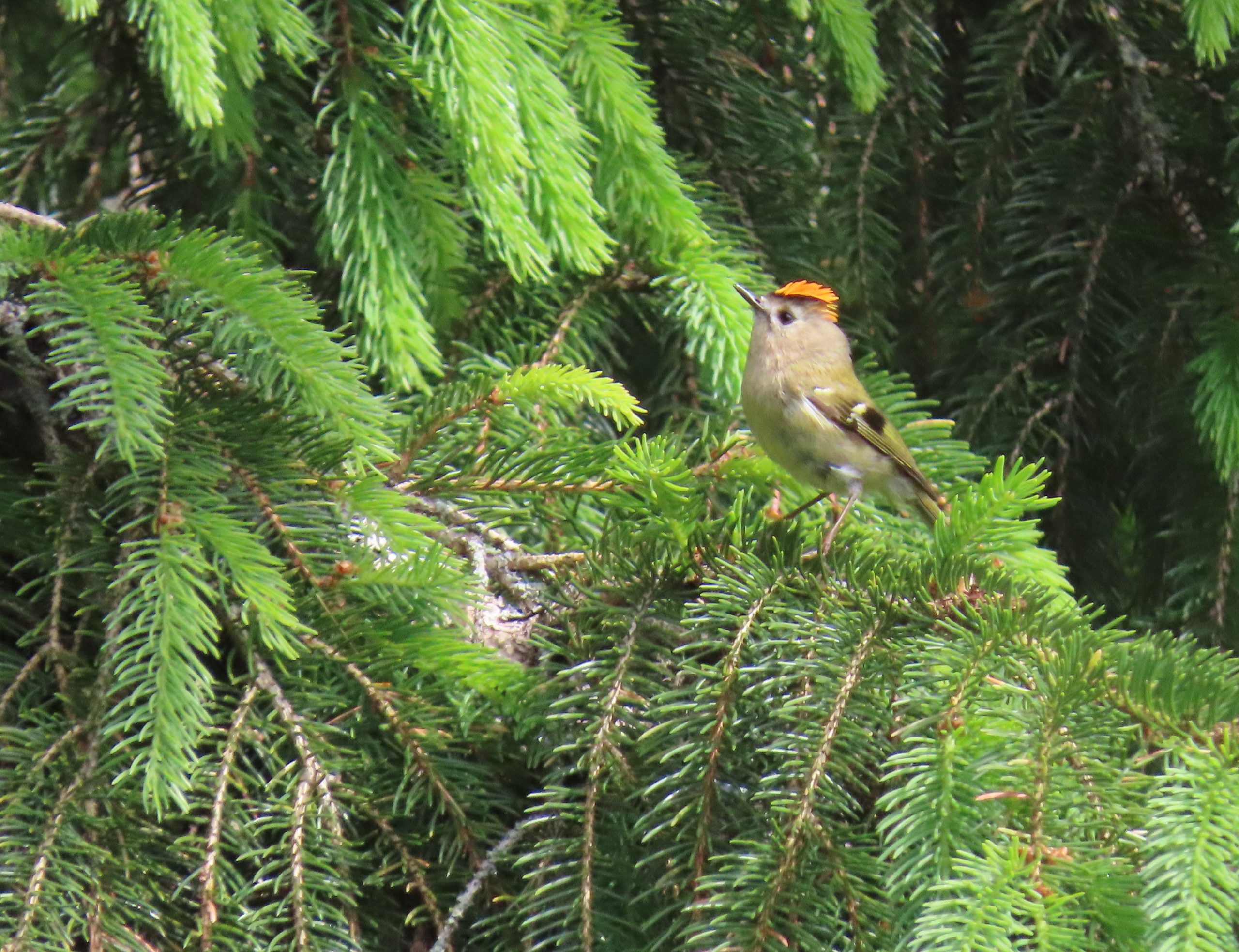 Goldcrest ♂ - Rosemary Winnall