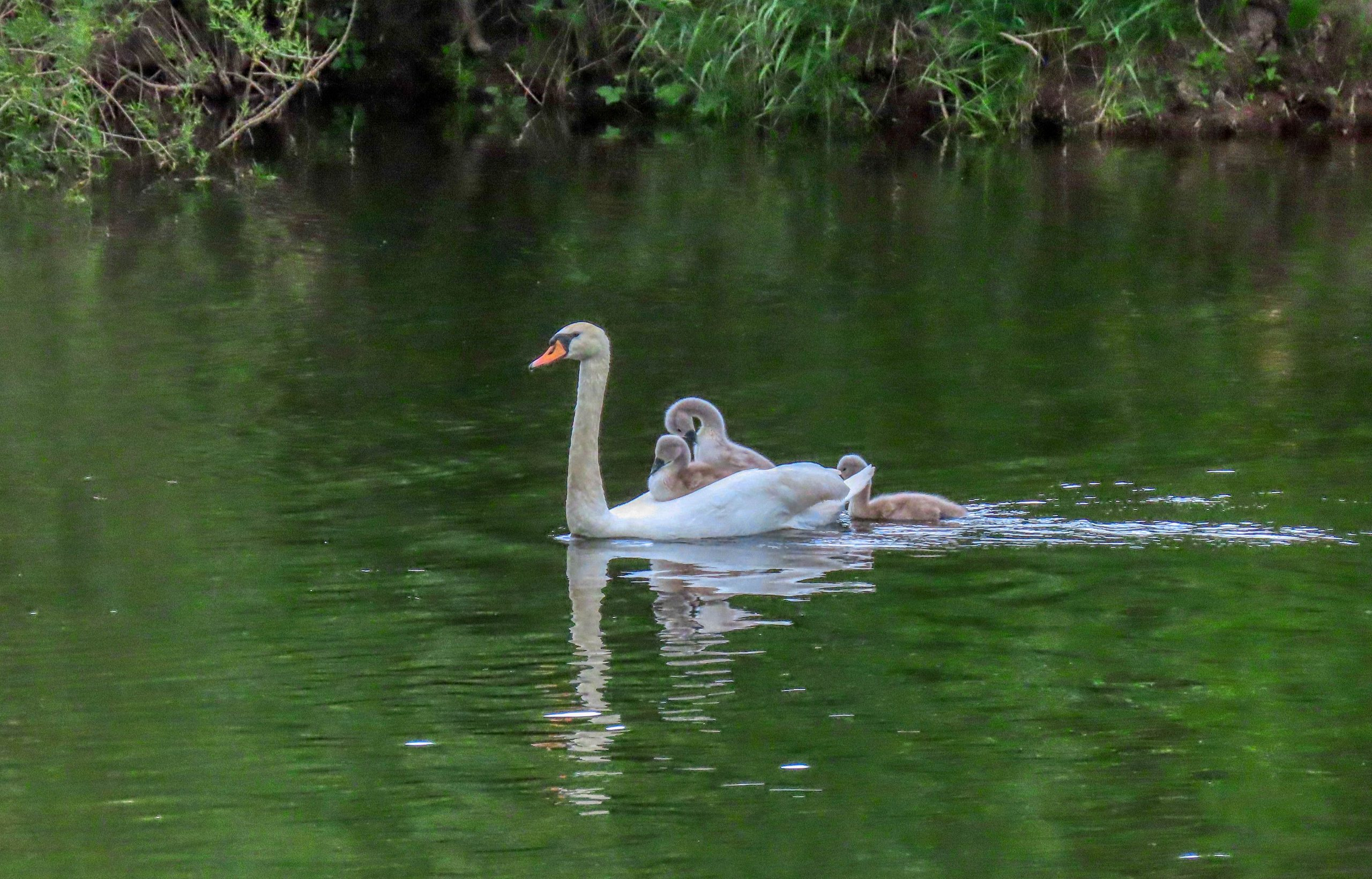 Mute Swan with cygnets - Rosemary Winnall