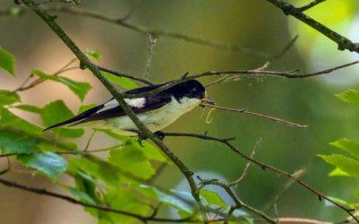 Pied Flycatchers in Wyre