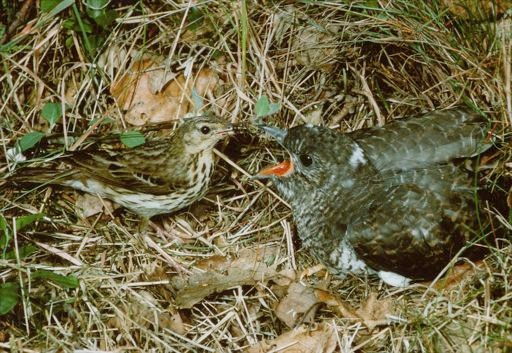 Cuckoo chick being fed by Meadow Pipit