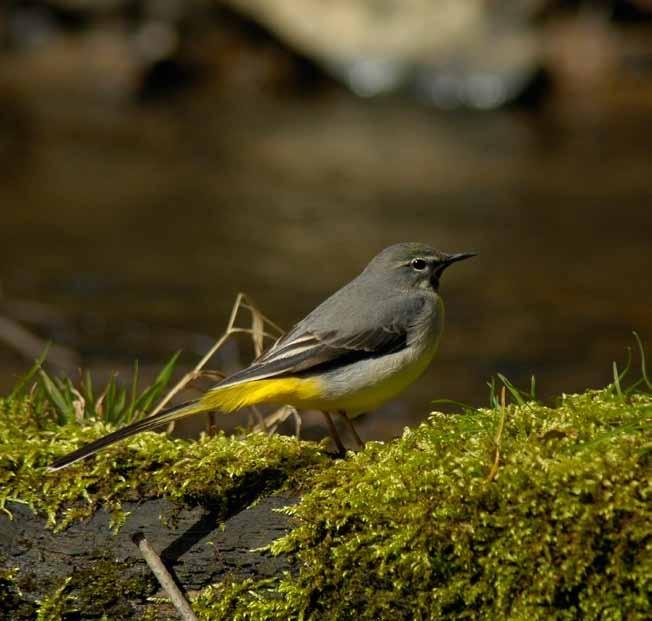 Grey wagtail - Motacilla cinereaat - Dowles Brook