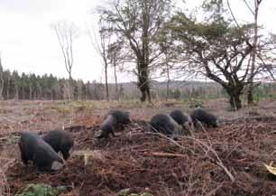 Pigs in Wyre