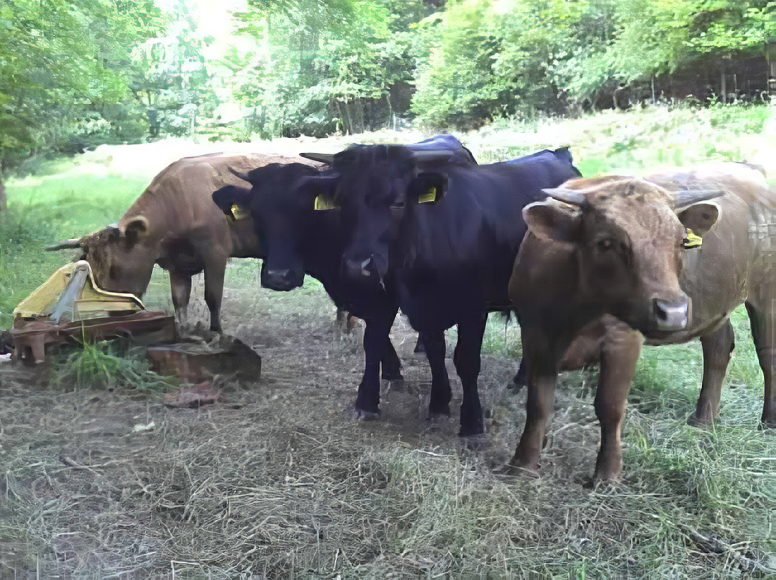 Dexter cattle grazing within the forest, 2011